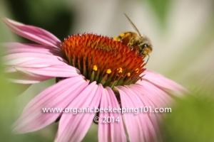 Bee_PaulVineyardProductions_Lavendar
